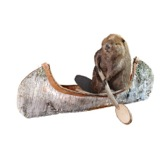 Taxidermist Beaver